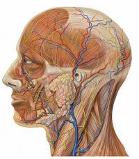 Anatomie N1